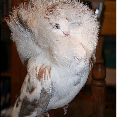 jacobin pigeon - photo #8