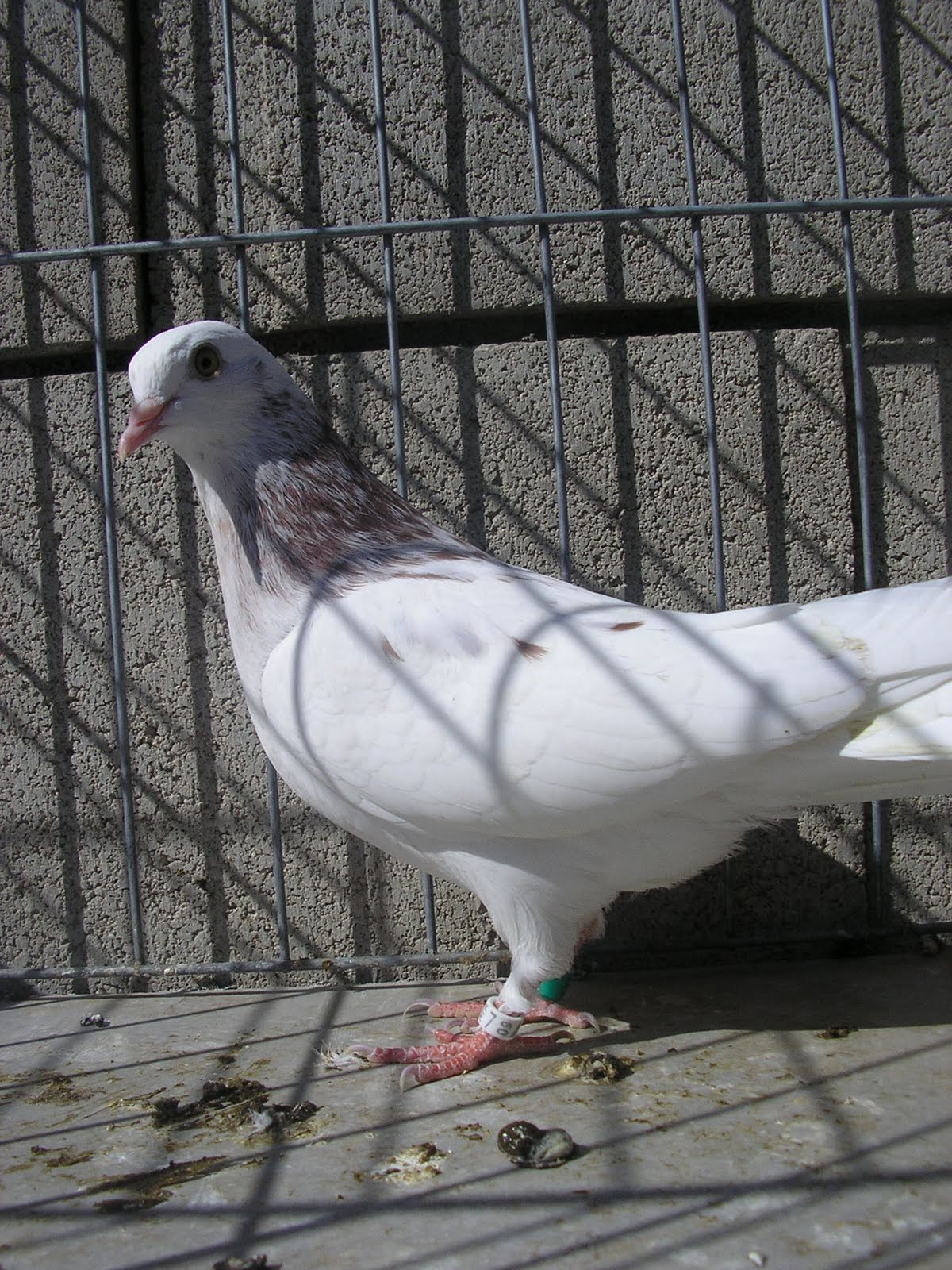 Roller pigeons - photo#50