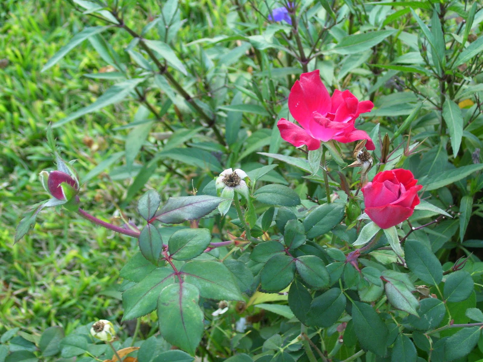 Peridotsgardenblog The Life Cycle Of A Rose