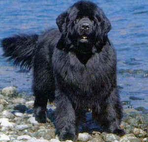 Labrador pelo largo caracteristicas