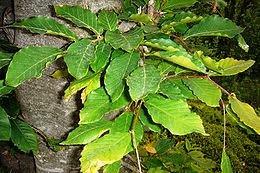 Kayın ağacı1