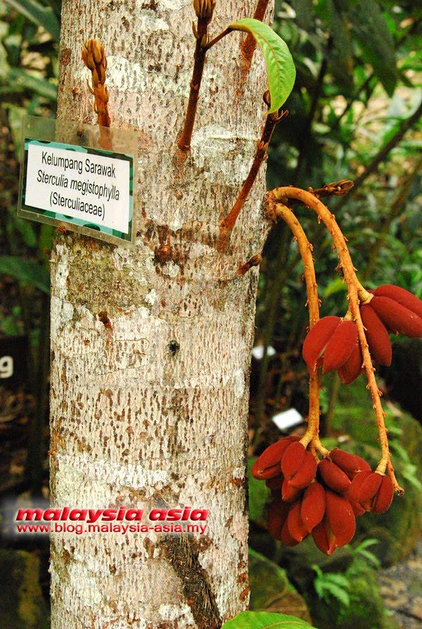 Sarawak Kalumpang