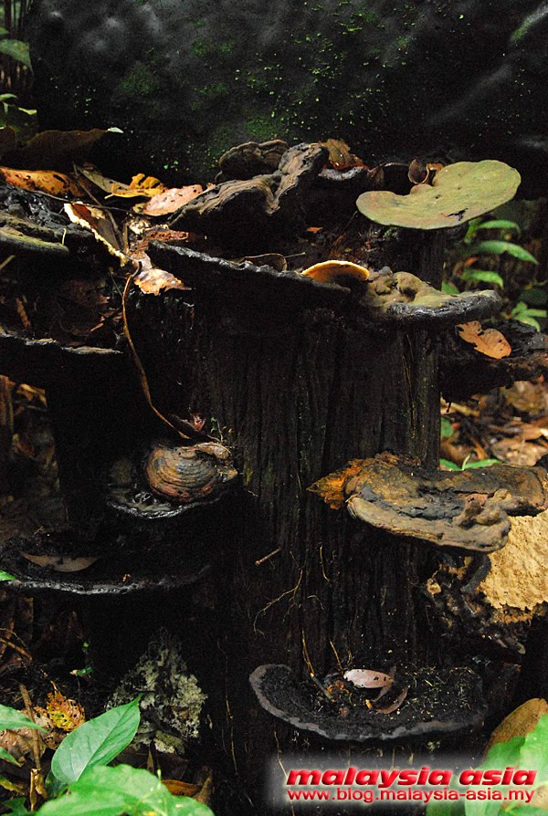 Photo of Sabah Fungi