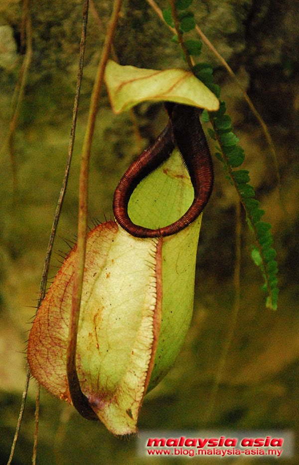 Nepenthes Pitcher Plant Sabah