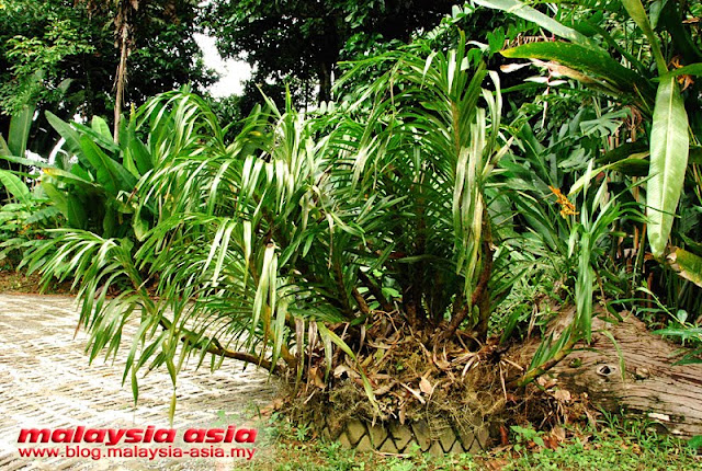Tiger Orchid Plant Malaysia