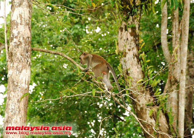 Monkeys at Kinabatangan River