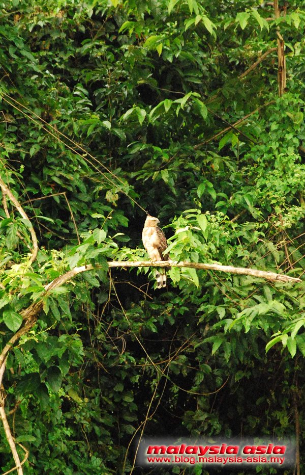 Kinabatangan River Birdwatching