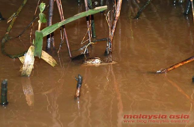 Crocodile Kinabatangan River