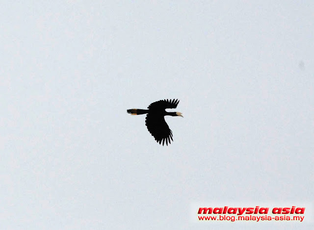 Hornbill in Kinabatangan River