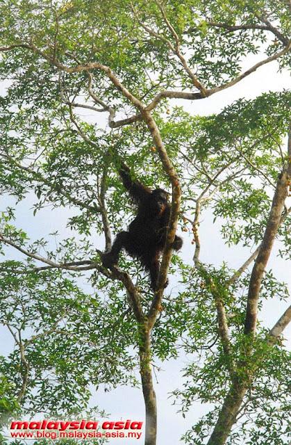 Kinabatangan River Orangutan Spotting