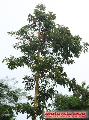 Proboscis Kinabatangan River