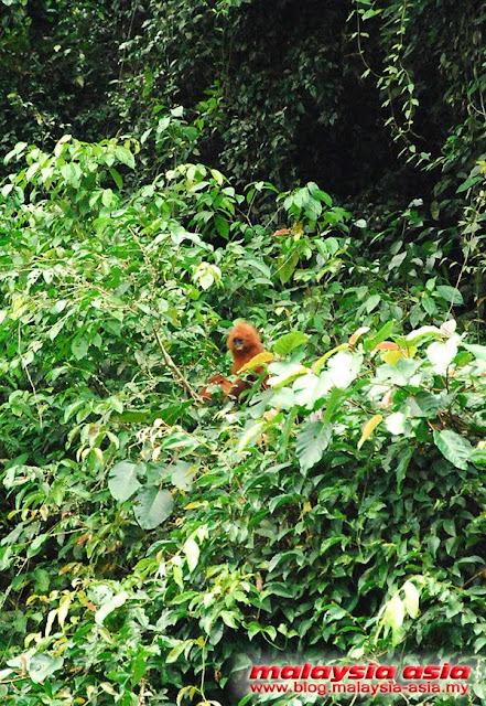 Sabah Red Leaf Monkey