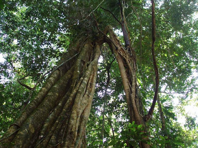 Trees at Mulu National Park