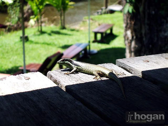Lizard at Mulu Resort
