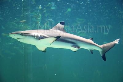 Sabah Black Tip Shark