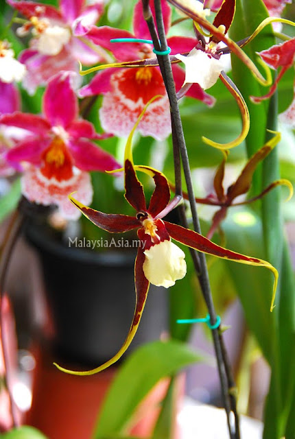 Malaysia Spider Orchid