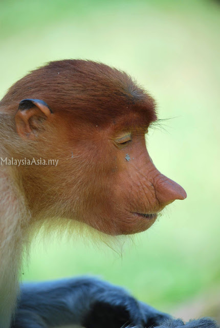 Photography of Proboscis Monkey