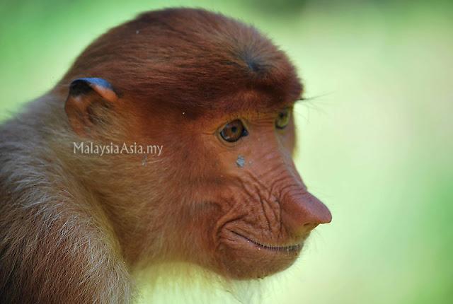 Big Nose Monkey
