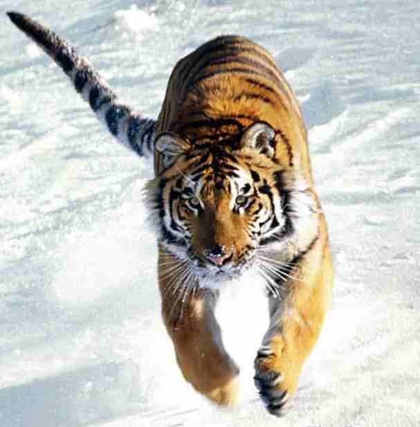 Mo Tambah Koleksi Gambar Harimau Anda?   Gambar Hidup