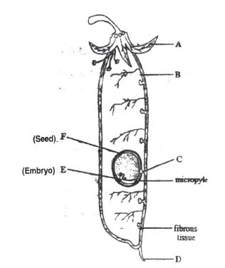 science of life: reproduction in plants practice questions  legume pod diagram