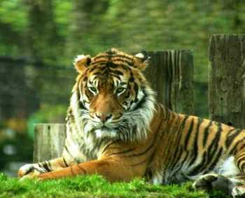 foto harimau di taman safari Indonesia
