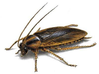 Una cucaracha puede vivir nueve días sin la cabeza
