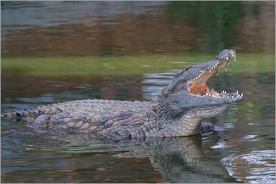 Los cocodrilos no pueden sacar la lengua.