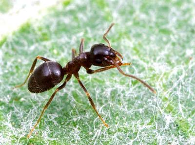 Las hormigas son muy fuertes