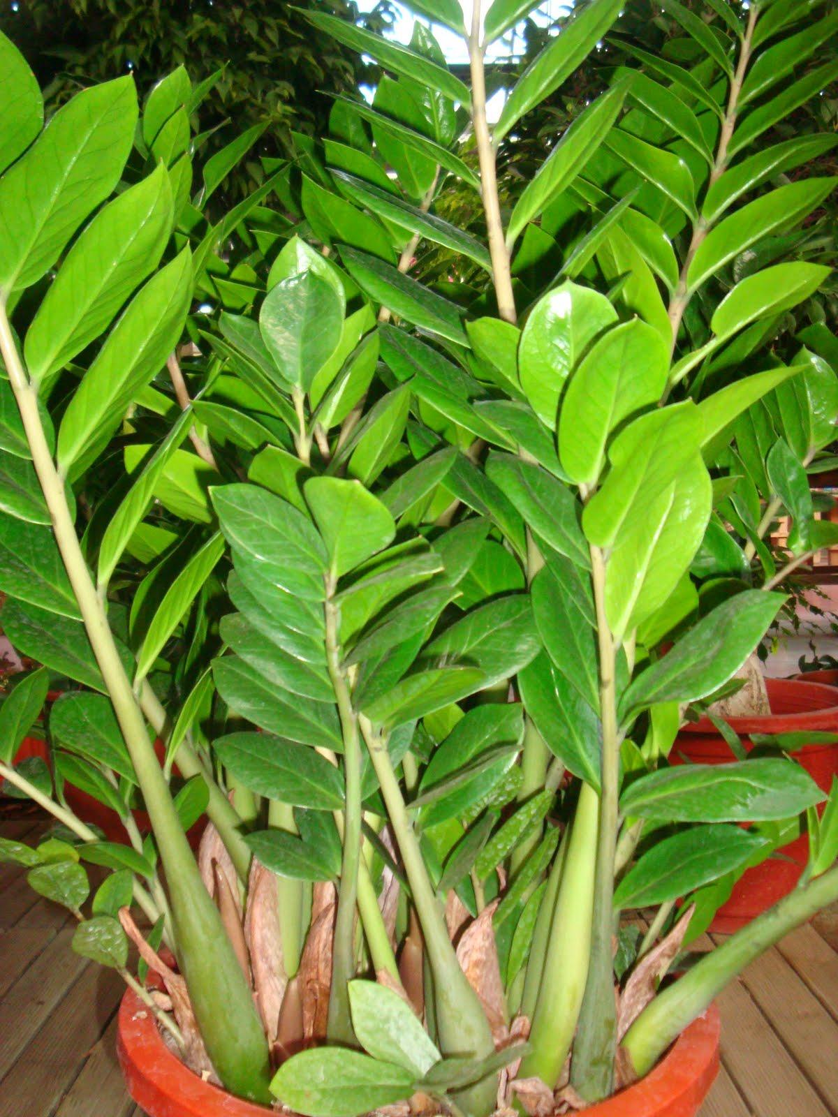 Tutti pazzi per le piante zamioculcas zamiifolia zamia - Piante da interno piccole ...