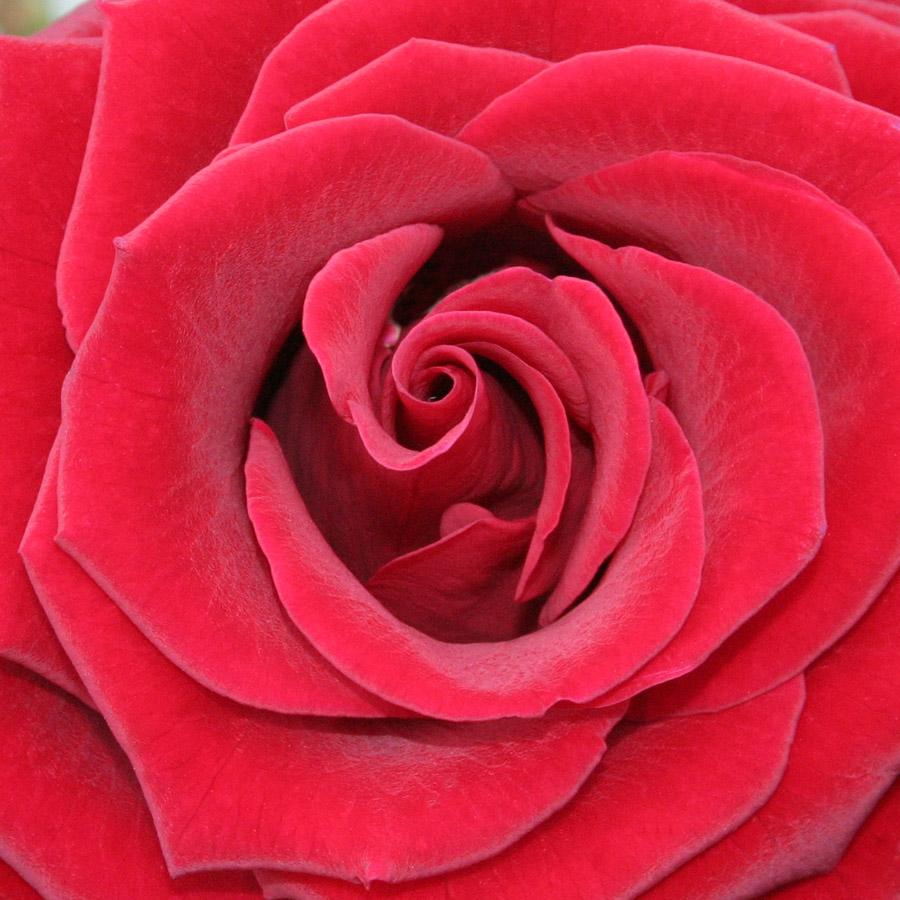 My Beautiful Picutre Album Red Rose Centers