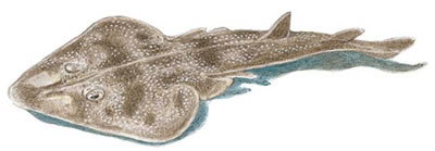 Atlantic Guitarfish (Rhinobatos lentiginosus)