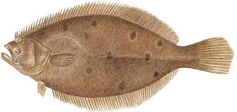 Summer Flounder (Paralichthys dentatus)