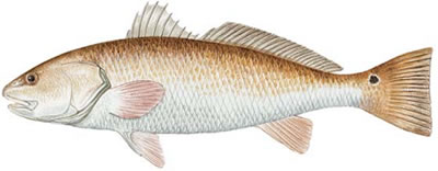Red Drum (Sciaenops ocellatus)