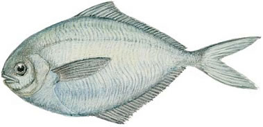 Butterfish (Peprilus triacanthus)
