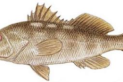 Kelp (Calico) Bass (Paralabrax clathratus)