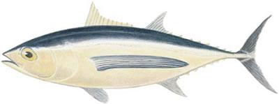 Albacore (Thunnus alalunga)