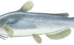White Catfish (Ameiurus catus)