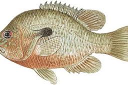 Redbreast Sunfish (Lepomis auritus)
