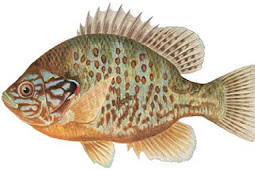 Pumpkinseed Sunfish (Lepomis gibbosus)