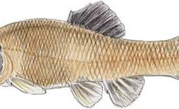 Fathead Minnow (Pimephales promelas)