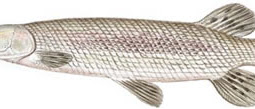 Alligator Gar (Lepisosteus spatula)