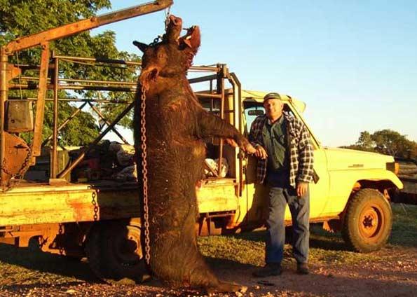 Porco Gigante é Abatido na Austrália