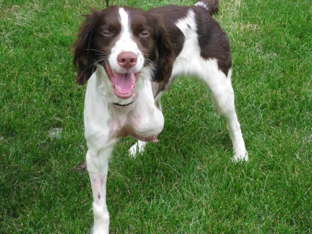 Brittany Spaniel Bosco Partial Amputee Dog