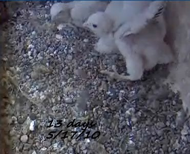 Peregrine Place 13 Days Since Hatching At Ub