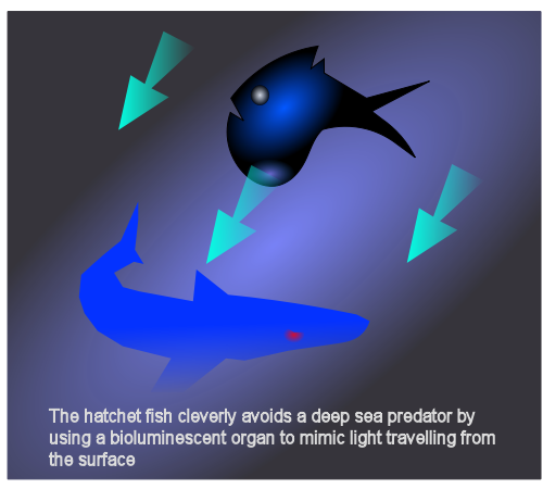 Hatchetfish bioluminescence