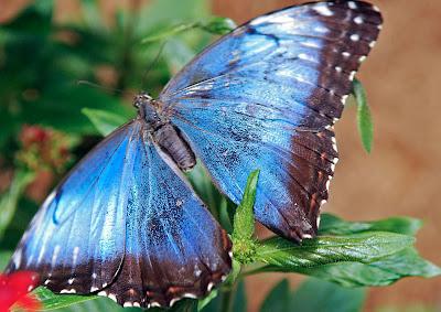 a butterfly found in La Paz Waterfall Gardens in Costa Rica