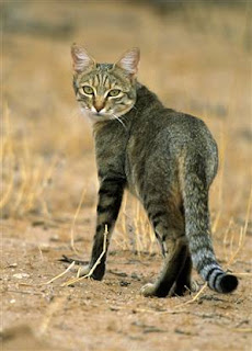 Animal Kingdom African Wildcat Felis Silvestris Lybica