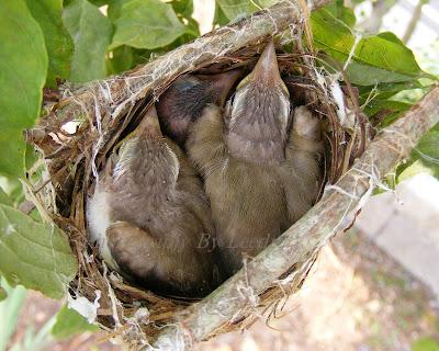 Red eyed vireo nest - photo#43