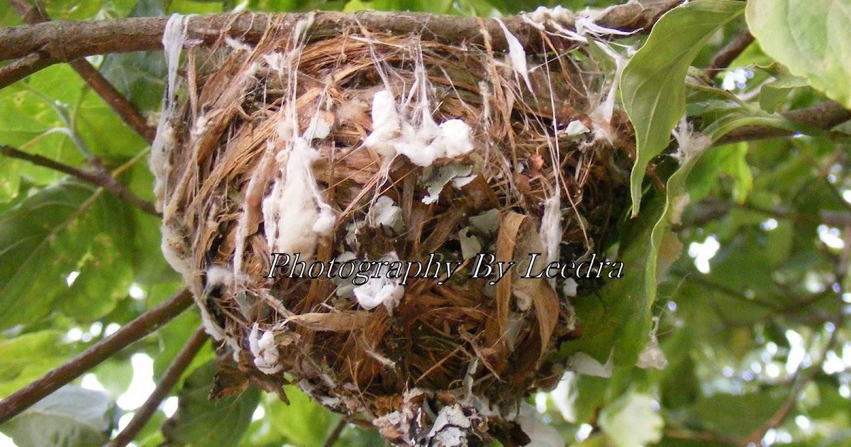 Red eyed vireo nest - photo#31