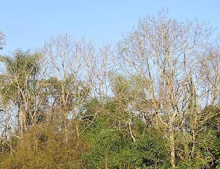 Árvores começam a secar a partir da copa